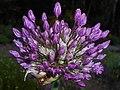Allium aflatunense 2016-05-17 0732.jpg