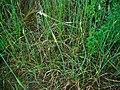 Allium carinatum pulchellum 001.JPG