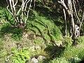Allium triquetrum L. (AM AK328306-3).jpg