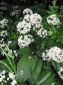 Allium ursinum01.jpg