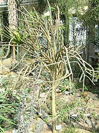 Alluaudia dumosa - Botanischer Garten München-Nymphenburg - DSC08102