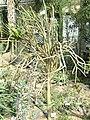 Alluaudia dumosa - Botanischer Garten München-Nymphenburg - DSC08102.JPG