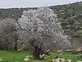 Almond tree in blossom.jpg