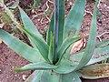 Aloe striata Aloes prążkowany 2008-05-01 02.jpg