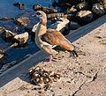 Alopochen aegyptiaca - Egyptian geese family - Nilgans-Familie - Frankfurt Main Sindlingen - 01.jpg