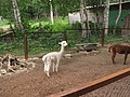 Alpaca in the Zoo of Yuzhno-Sakhalinsk 1.JPG
