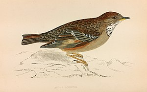 Francis Orpen Morris - Image: Alpine Accentor Francis Orpen Morris History of British Birds 1850 1857