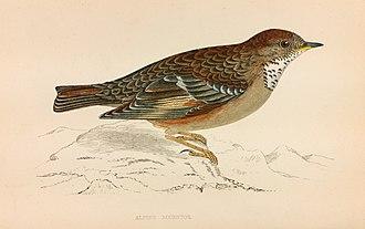 Francis Orpen Morris - Image: Alpine Accentor Francis Orpen Morris History of British Birds 1850 1857