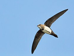 Alpine Swift-2719.jpg