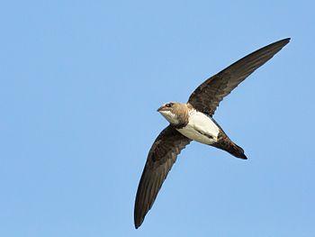 Alpine Swift-2719.jpg