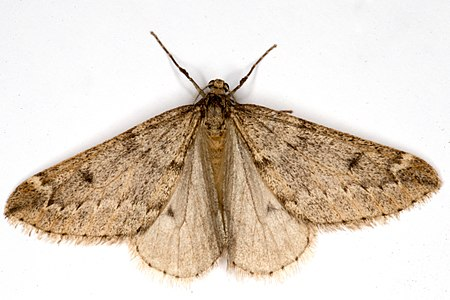 Alsophila aescularia03, Lodz(Poland)(js).jpg