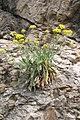 Alyssum saxatile4.jpg