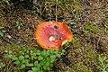 Amanita muscaria in the Landschaftsschutzgebiet Serles-Habicht-Zuckerhütl 01.jpg