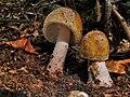 Amanita rubescens (33).jpg