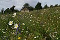 Amazing wild flower meadow at Shanzie - geograph.org.uk - 515165.jpg