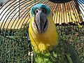 Amazona aestiva -pet in round cage-6b.jpg