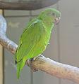 Amazona agilis -Vienna Zoo, Schonbrunn Palace, Vienna, Austria-8a (1).jpg