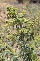 Ambrosia acanthicarpa kz05.jpg