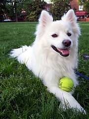 Best Dogs Of American Eskimo