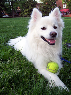 American Eskimo dog with a tennis ball .