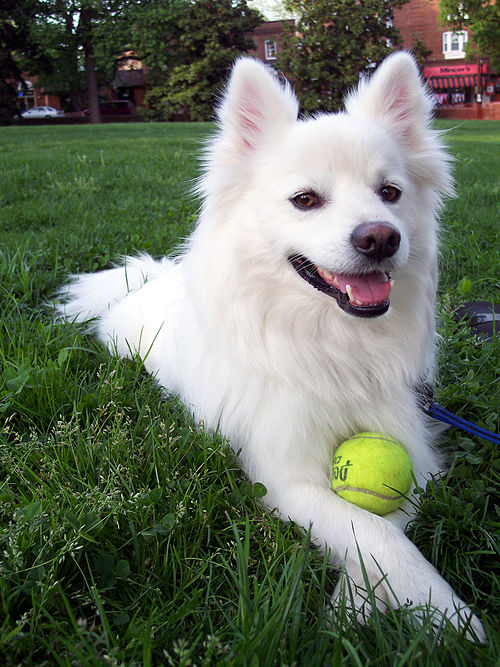 American Eskimo dog with a tennis ball. - American Eskimo Dog