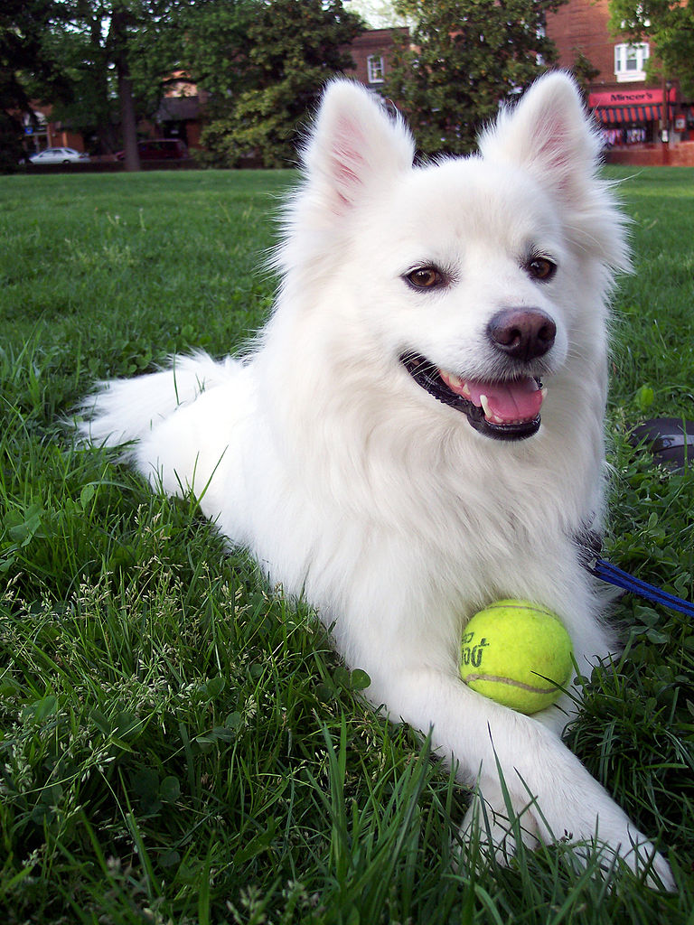 Are American Eskimo Dogs Make You Have Higher Homeowner Insurance