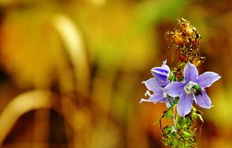 Campanula americana - Image: American Bellflower and Sweat Bee DSC 0055
