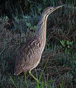 American Bittern in California.JPG