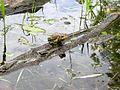 American Toads (Bufo americanus) - Flickr - Jay Sturner (3).jpg