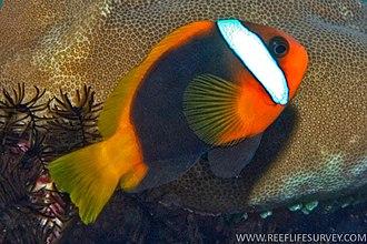 Cinnamon clownfish - Image: Amphiprion melanopus RLS