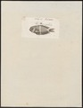 Amphiprion spec. - 1759 - Print - Iconographia Zoologica - Special Collections University of Amsterdam - UBA01 IZ13900250.tif