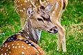 An axis axis male individual living in Ridiyagama Safari Park.jpg