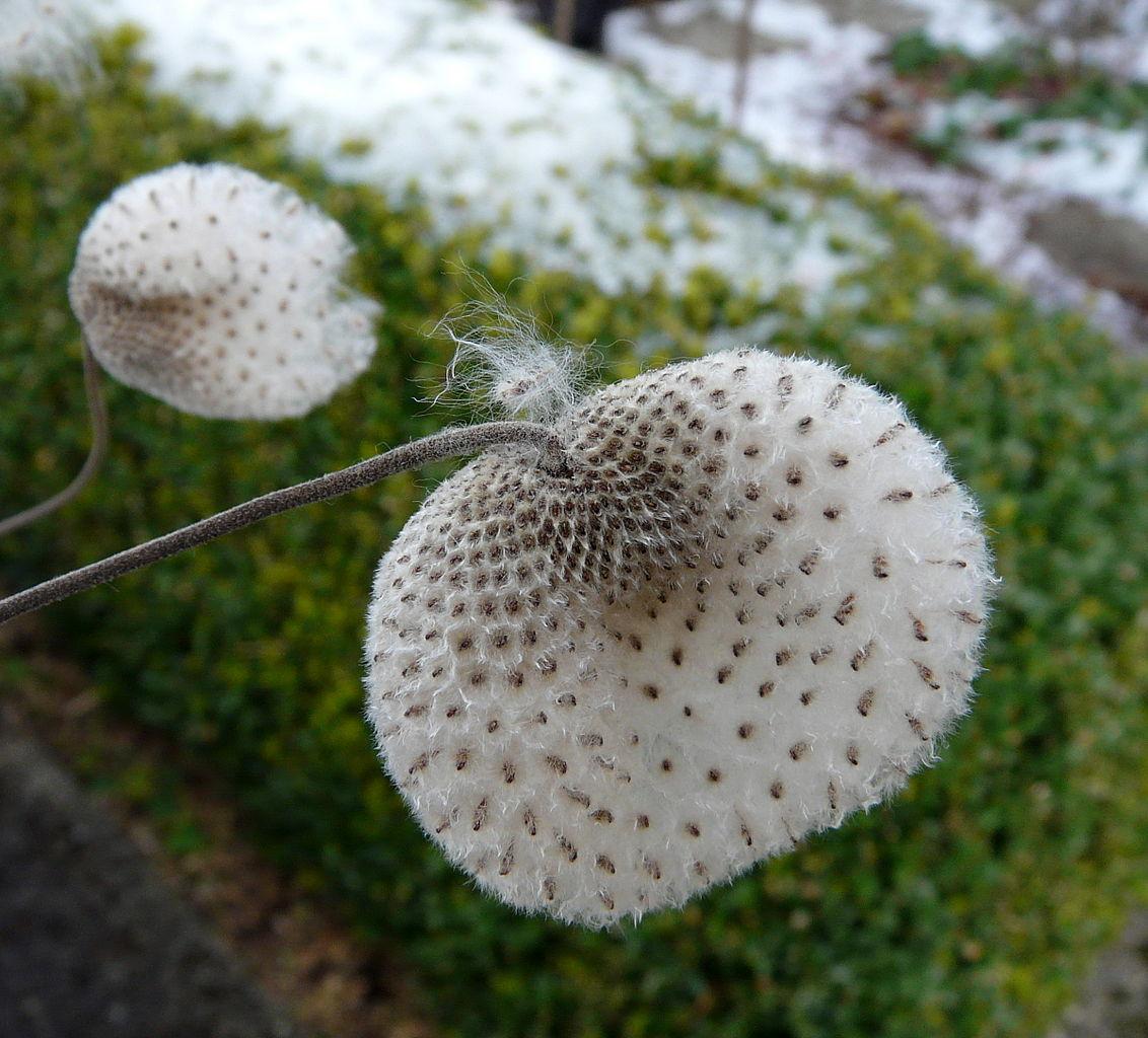 File:Anemone hybrida, seeds 3.jpg - Wikimedia Commons