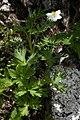 Anemone narcissiflora 07.jpg