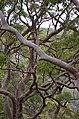 Angophora costata DSC 9087.JPG (14296966456).jpg