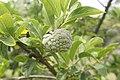 Annona squamosa 0552.jpg