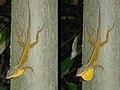 Anolis oculatus winstoni (male).jpg