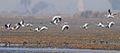 Anser indicus Dadri wetlands.jpg