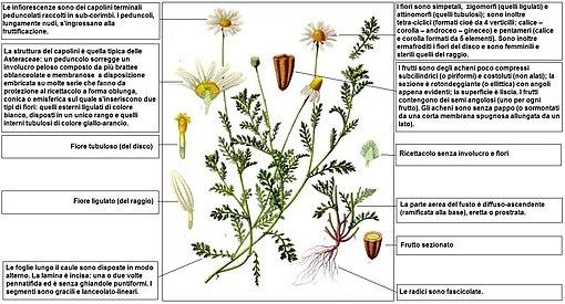 Anthemis arvensis wikipedia descrizione delle parti della pianta thecheapjerseys Choice Image