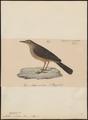 Anthus sordidus - 1835 - Print - Iconographia Zoologica - Special Collections University of Amsterdam - UBA01 IZ16300173.tif