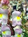 Antirrhinum graniticum FlowersCloseup 2009April26 SierraMadrona.jpg
