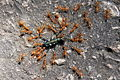 Ants fight beetle.jpg
