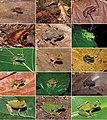 Anurans from the RPPN Serra Bonita, Bahia State, Northeastern Brazil - 1.jpg