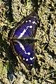 Apatura iris (50154110166).jpg