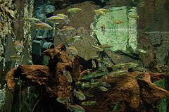 Acquario con Phenacogrammus interruptus e Arnoldichthys spilopterus