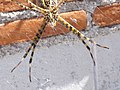 Araña de jardín (Ags., México) 08.jpg