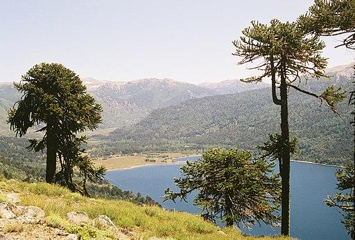Araucaria araucana Lanin