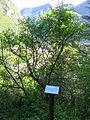 Arboretum Borna di Laou 8266.JPG