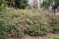 Arbusto Abelia (2) (11983494943).jpg