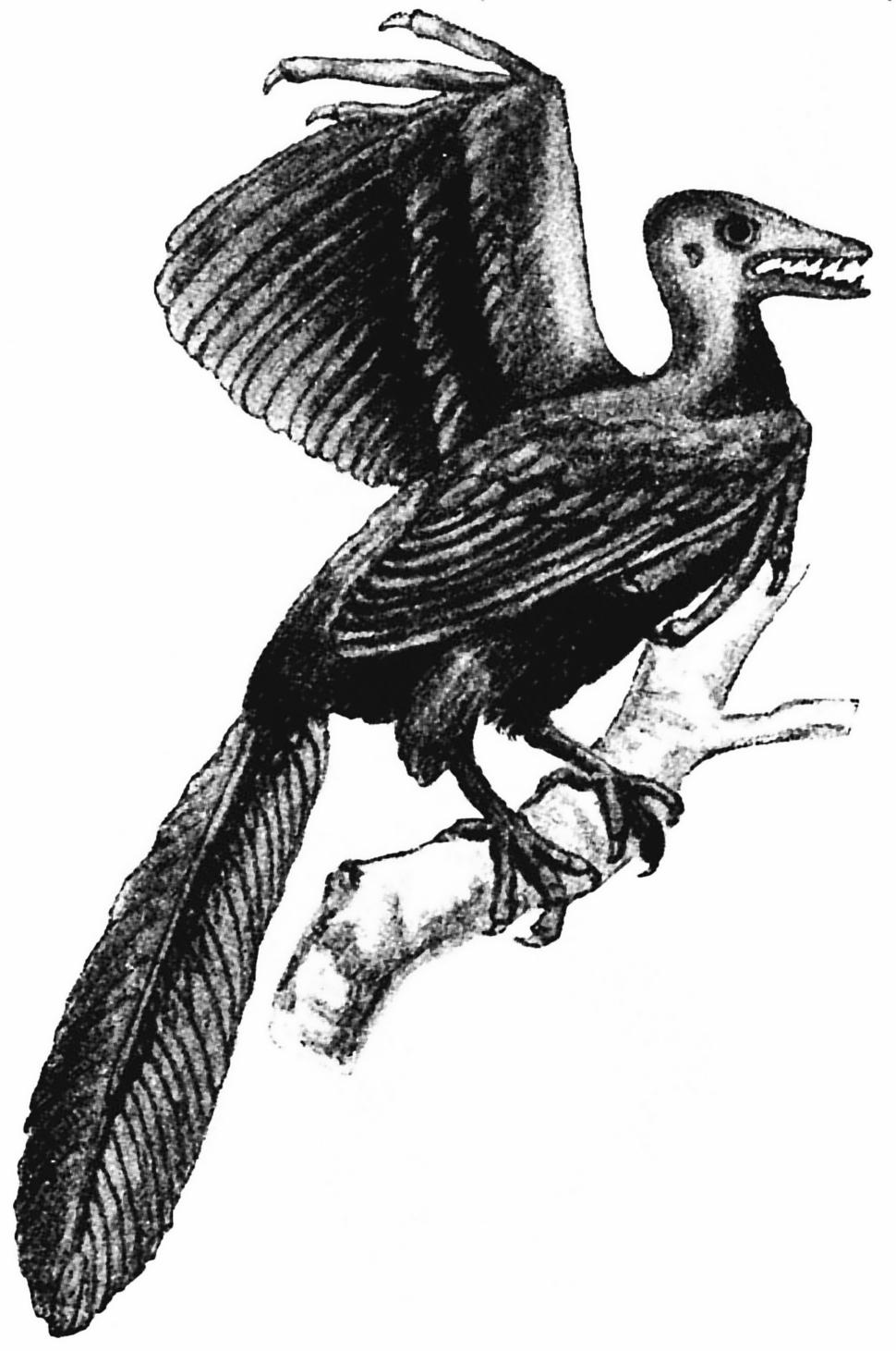 Archæopteryx, fig 1, Nordisk familjebok